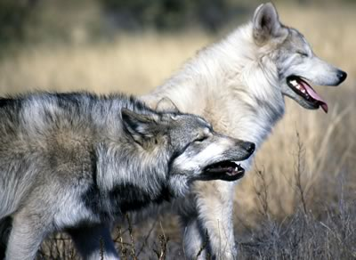 co marketing is similar to wolves hunting in packs